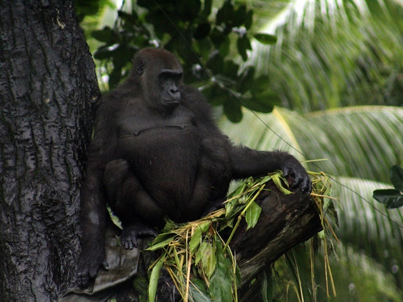 Gorilla Adjibolo July 2019