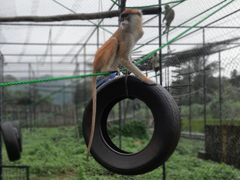Patas monkey in temporary enclosure