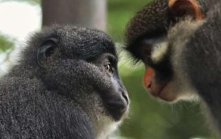 Preuss's monkey Muea and red-earred monkey Aggie
