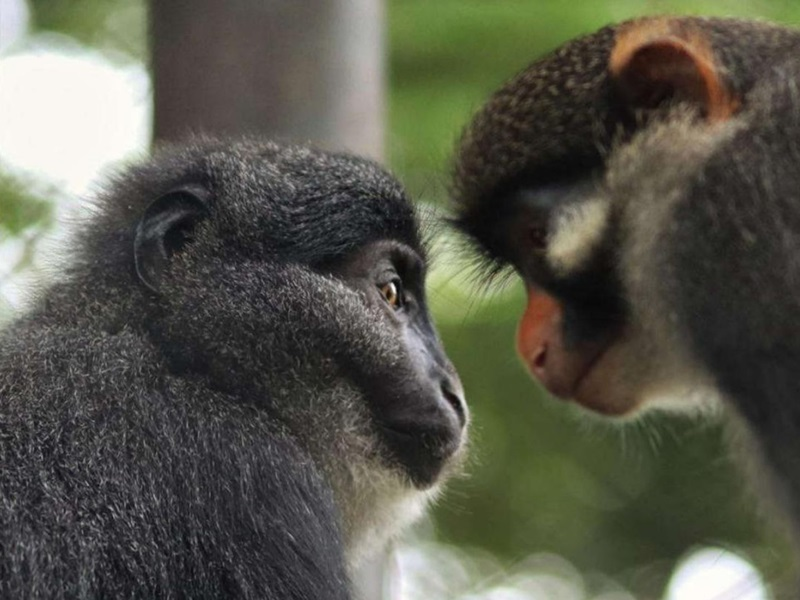 Preuss's monkey Muea and red-earred monkey Aggie